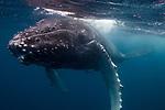 Humpback Whale (Megaptera novaeangliae) calf, Vava'u, Tonga