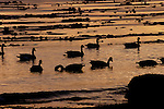 Geese silhouetted in the water at dusk, Vancouver, British Columbia,Canada