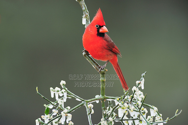 Northern Cardinal (Cardinalis cardinalis), male with eye ring perched on ice covered Christmas mistletoe (Phoradendron tomentosum),Dinero, Lake Corpus Christi, South Texas, USA