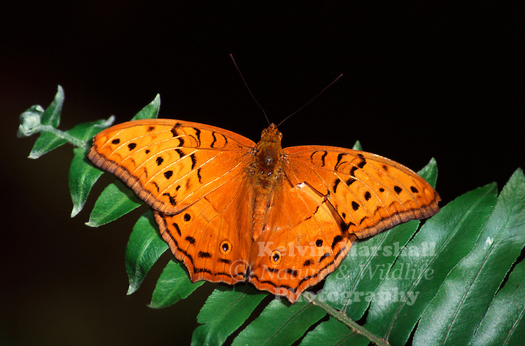 Like many butterfly species, the male Cruiser (Vindula arsinoe adais) is smaller and more brightly coloured than the female.