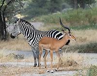 A Common Impala, Aepyceros melampus melampus, stands with a Grant's Zebra, Equus quagga boehmi, in Tarangire National Park, Tanzania