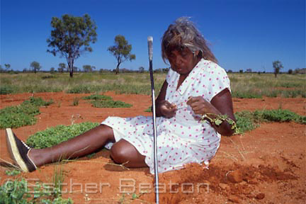 Aboriginal woman digging for edible roots with digging stick. Harts Range, Northern Territory