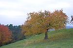 Europa, DEU, Deutschland, Rheinland Pfalz, Hunsrueck, Damscheid, Herbst, Herbstfarben, Baeume, Obstbaeume, Kategorien und Themen, Natur, Umwelt, Landschaft, Landschaftsfotos, Landschaftsfotografie, Landschaftsfoto, Naturschutz, Naturschutzgebiete, Landschaftsschutz, Biotop, Biotope, Landschaftsschutzgebiete, Landschaftsschutzgebiet, Oekologie, Oekologisch, Typisch, Landschaftstypisch, Landschaftspflege....[Fuer die Nutzung gelten die jeweils gueltigen Allgemeinen Liefer-und Geschaeftsbedingungen. Nutzung nur gegen Verwendungsmeldung und Nachweis. Download der AGB unter http://www.image-box.com oder werden auf Anfrage zugesendet. Freigabe ist vorher erforderlich. Jede Nutzung des Fotos ist honorarpflichtig gemaess derzeit gueltiger MFM Liste - Kontakt, Uwe Schmid-Fotografie, Duisburg, Tel. (+49).2065.677997, ..archiv@image-box.com, www.image-box.com]