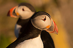 Icelandic Animals