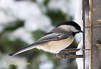 1J04-521z   Black-capped Chickadee, at bird feeder in winter,  Poecile atricapillus or Parus atricapillus