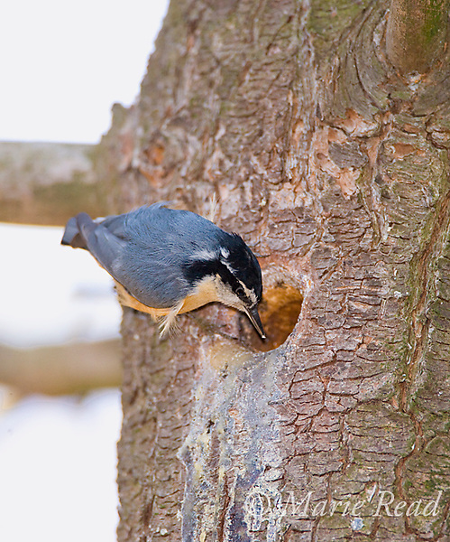 Red-breasted Nuthatch (Sitta canadensis) male at nest hole in a pine trunk, Ithaca, New York, USA
