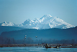 Mount Baker, Skagit river estuary, Wrangle Island Snow geese, Chen caerulescens, winter habitat, Puget Sound, Washington State, Pacific Northwest, USA, .