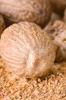 Whole Nutmeg Nuts close-up