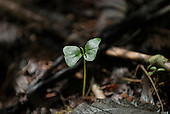 Aldeia Baú, Para State, Brazil. a young plant shoot rising from the forest floor.