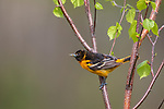 Baltimore oriole - male perched in a speckled alder.