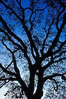 Silhouetted Live Oak at sunrise, Quercus virginiana,.Charleston, South Carolina.Silhouetted Live Oak at sunrise, Quercus virginiana,.Charleston, South Carolina