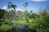 Amazon, Brazil. Flooded forest, one dead tree amongst the green, thriving forest; blue sky.