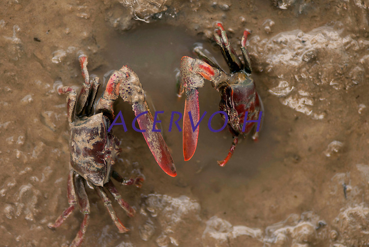 Caranguejos em seu habitat no manguezal da Reserva Extrativista Marinha Mãe Grande no litoral do Pará, na foz do rio Amazonas.<br /> Curuçá, Pará, Brasil.<br />  Foto: Paulo Santos <br /> 17/05/2009