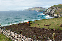 6-5-2013: In time honoured tradition, a Kerry farmer digs his ridges and plants 'rooster potatoes' in a field overlooking Coomeenole Beach with the wild Atlantic Ocean andThe Blasket Islands in the distance on Monday. Planting potatoes is nearly a  month behind schedule due to the inclement weather this year..Picture by Don MacMonagle
