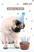 Samantha, ANIMALS, REALISTISCHE TIERE, ANIMALES REALISTICOS, funny, photos+++++Pug Party master,AUKP57,#a#