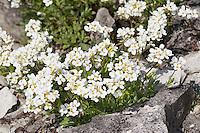 Alpen-Gänsekresse, Alpengänsekresse, Gänsekresse, Arabis alpina, Alpine rock-cress, Alpine rockcress, Alpine rock cress