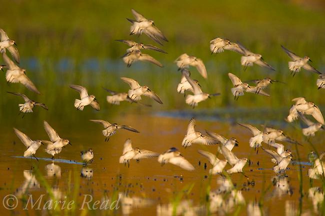 Western Sandpipers (Calidris mauri), flock landing, Orange County, California, USA,