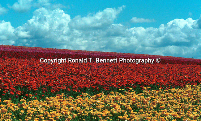 "Ranunculus flower fields Carlsbad California, Flower fields Carlsbad California, Ranunculus flowers freesia bulbs Floral cultivation began 85 years ago with Luther Gage and Frank Frazee Carlsbad California flower fields, Ranunculus bulbs, bulbs, ranunculus grower, ranunculus crop, thirteen beautiful colors of ranunculus flowers   California, Flower fields Carlsbad California,  California, West Coast of US, Golden State, 31st State, Fine art Photography and Stock Photography by Ronald T. Bennett Photography ©, FINE ART and STOCK PHOTOGRAPHY FOR SALE, CLICK ON  ""ADD TO CART"" FOR PRICING, Fine Art Photography by Ron Bennett, Fine Art, Fine Art photography, Art Photography, Copyright RonBennettPhotography.com ©"