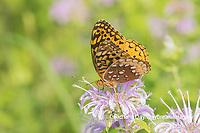 03322-01816 Great Spangled Fritillary (Speyeria cybele) on Wild Bergamot (Monarda fistulosa) Marion Co. IL