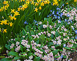 Vashon-Maury Island, WA  <br /> Detail of primrose 'ansel dawn' with narcissus and chionodoxa in the spring