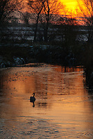 Swan in winter sunset on river with snow