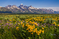 Spring flowers Grand Teton National Park
