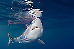 Shortfin Mako Shark (Isurus oxyrinchus) off San Diego, California, East Pacific Ocean.