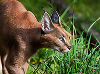 "Caracal (Caracal caracal) stalking through grass.  The word ""Caracal"" comes from the Turkish word ""karakulak"" which means ""black ear.""  Found in Africa through Central Asia and India."