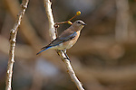 Western Bluebird Southern CA