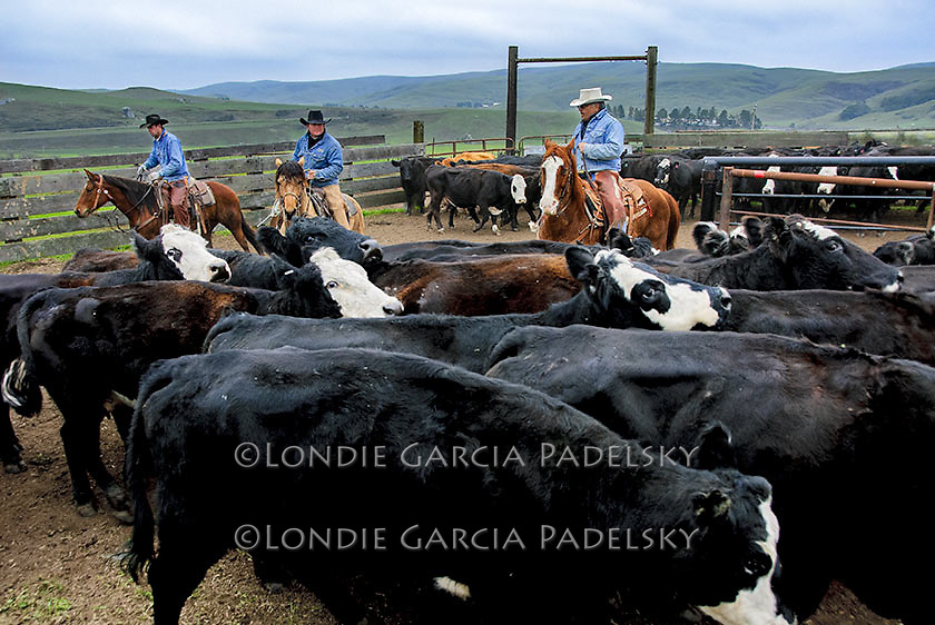 Cowboys sorting cattle at a roundup in Cambria, Central Coast of California