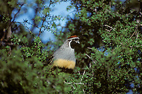 Male Gambel's Quail, Sonoran Desert, Arizona.  March.