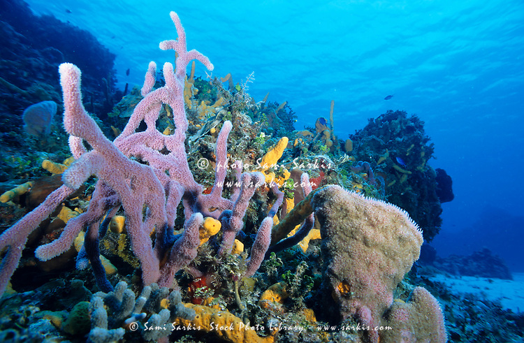 Soft coral growing in an underwater garden, Palancar Reef, Cozumel Island, Yucatan Peninsula, Mexico.
