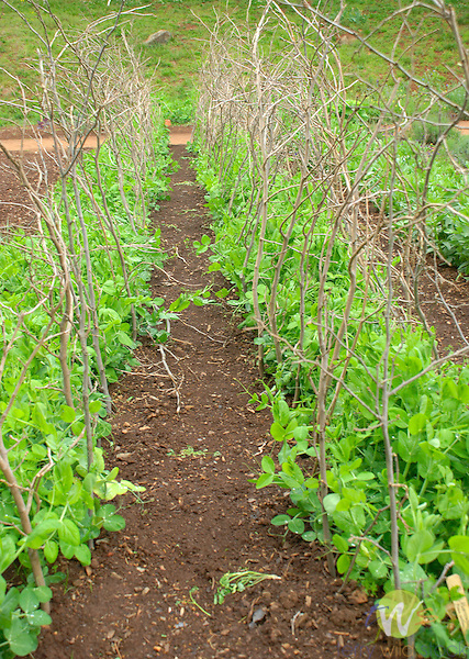 Monticello. Thomas Jefferson estate vegetable garden. Pea 'marrowfat'