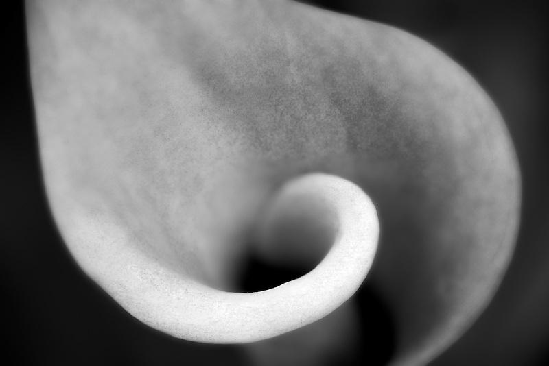 Lipstick calla lily. California Calla lily (z. rehmannii). Al's nursery. Oregon