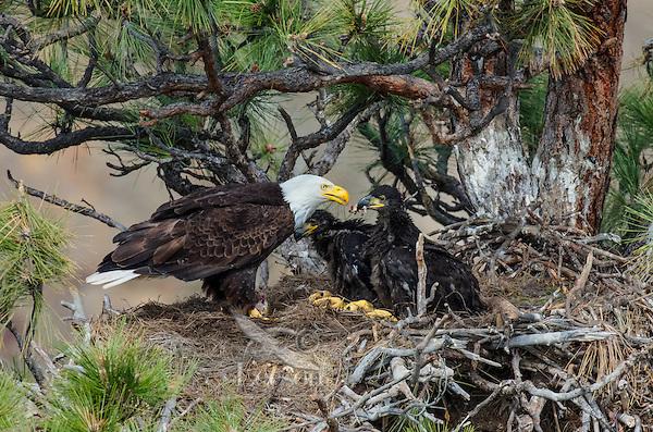 Bald Eagle Nest (Haliaeetus leucocephalus)--adult feeding 5 to 6 week old eaglets in tall ponderosa pine tree.  Oregon.  May.