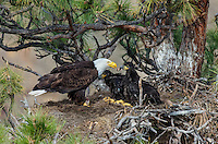 Bald Eagle Nest (Haliaeetus leucocephalus)--adult feeding 5 to 6 week old eaglets in tall ponderosa pine tree.  Oregon.  May.