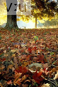 Sugar Maple (Acer saccharum) tree and fallen leaves in the fall.