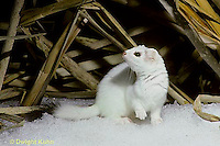 MA06-004x  Short-Tailed Weasel - exploring marsh for prey in winter - Mustela erminea