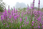 A summer fog veils purple loosestrife in the Great Marsh, Newbury, MA, USA