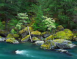 Umpqua National Forest, OR<br /> Moss covered boulders with western dogwood (Cornus occidentalis) highlighting the spring forest above the North Umpqua River