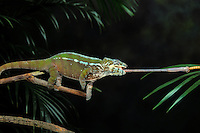 Panther Chameleon throwing tongue..Native to Northern & Coastal Madagascar. Captive..(Chamaeleo pardalis).