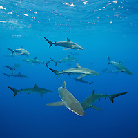 RM0064-D. Silky Sharks (Carcharhinus falciformis), grow to 3.3m long, usually pelagic, sometimes in big schools. Baja, Mexico, Pacific Ocean. <br /> Photo Copyright &copy; Brandon Cole. All rights reserved worldwide.  www.brandoncole.com