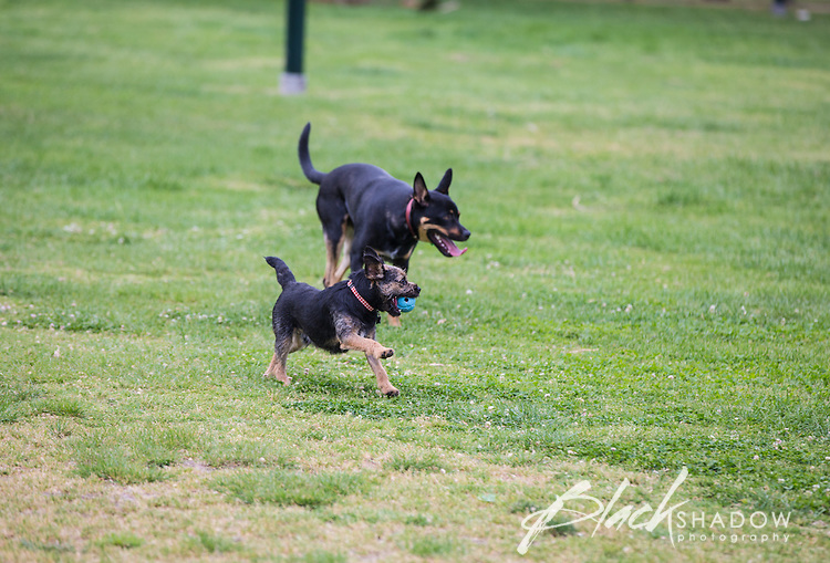 Archer the Border Terrier puppy playing with a Kelpie at Princes Park, Melbourne, October 2015