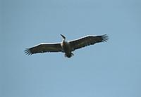 Damatian Pelican - Pelecanus crispus