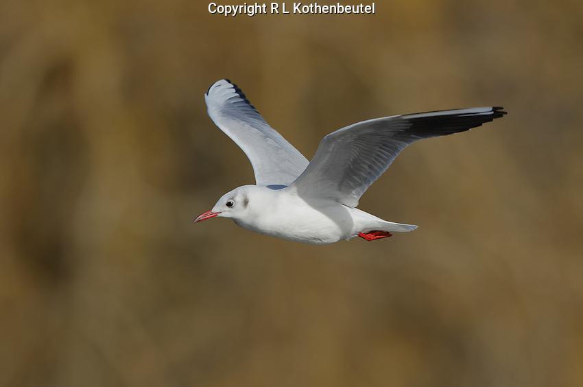 Winter plumage black-headed gull in flight<br /> Trout Lake, British Columbia, Canada<br /> 1/28/2016