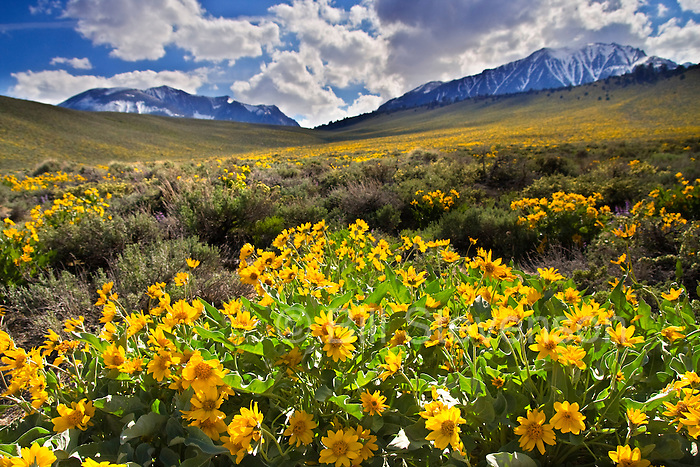 A photo of Mules Ears flowers ( Arrowleaf Balsamroot) on a hillside with the Sierra mountains of California in the background