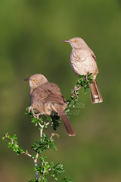 Curve-billed Thrasher (Toxostoma curvirostre), pair perched, Laredo, Webb County, South Texas, USA