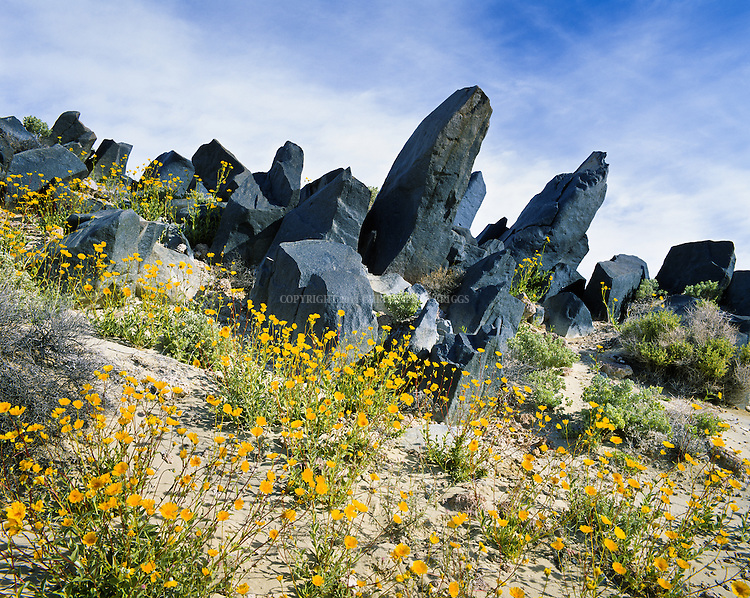 Black basalt lava and yellow wildflowers mix it up on a sandy slope in the Mojave Desert.