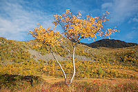 Birch tree in colorful autumn landscape, Vestvågøya, Lofoten Islands, Norway