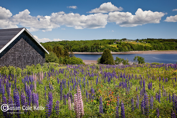 Lupine meadow in Machiasport, Downeast ME